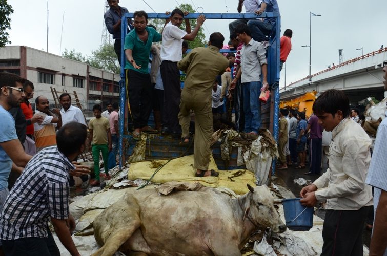 photo 140718  cow bhakt rescuing cows
