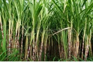 Sugar Cane field- symbolizing prosperity